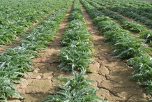 Cardoon-farm