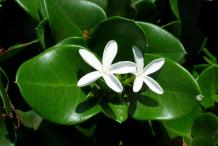 Flower-of-Carissa--plant