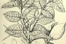 Sketch-of-Carissa-plant