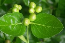 Unripe-fruit-of-Carissa-plant