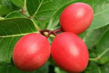 Carissa-Fruit