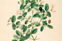 Carissa-Plant-Illustration