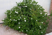 Carissa-Plant