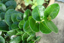 Leaves-of-Carissa-plant
