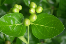Unripe-fruit-of-Carissa-plant