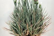 Carnation-full-plant