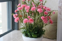 Carnation-plant