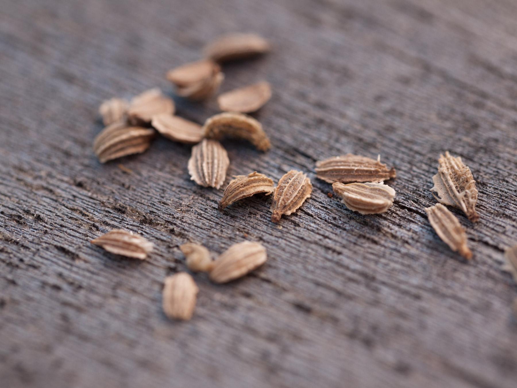 Carrot-seeds