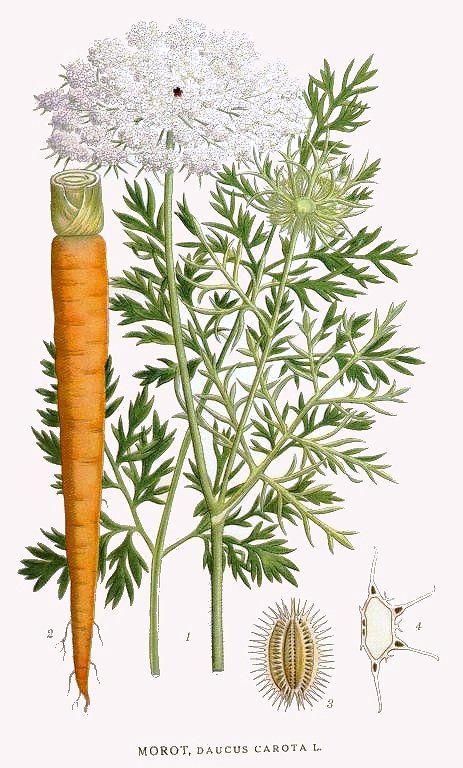 Plant-illustration-of-Carrot