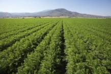 Carrot-farm