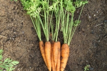 Carrot-plant