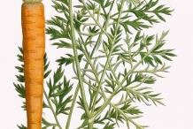 Plant-illustration-of-Carrot
