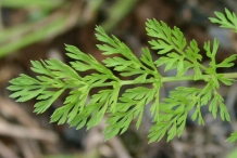 Carrot-leaves