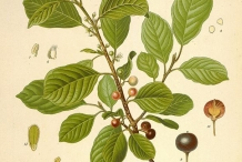 Cascara-plant-illustration