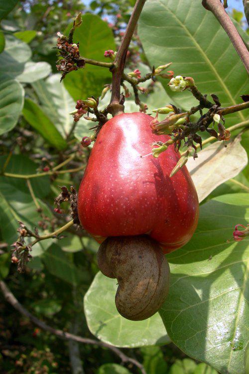 Cashew-fruit