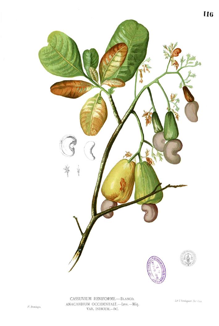Cashew-illustration