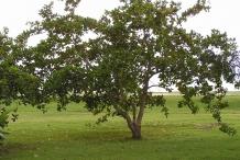 Cashew-tree