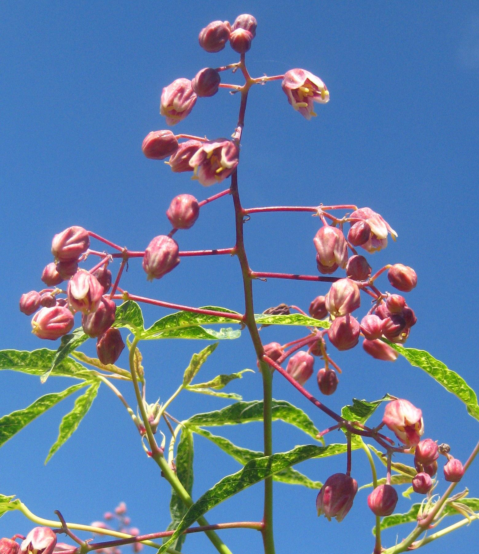 Flower-bud-of-Cassava