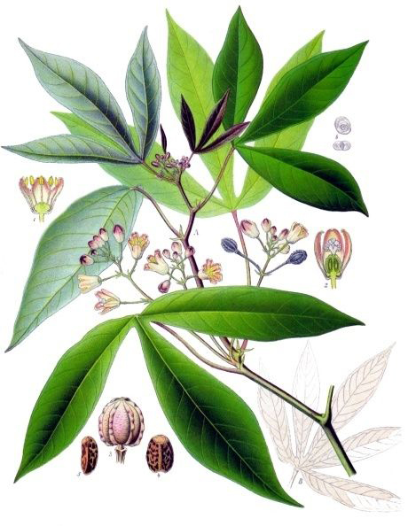 Plant-illustration-of-Cassava