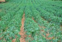 Cassava-farm