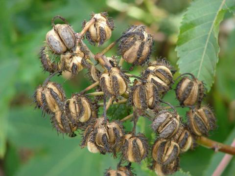 Dried-Castor-Bean pods