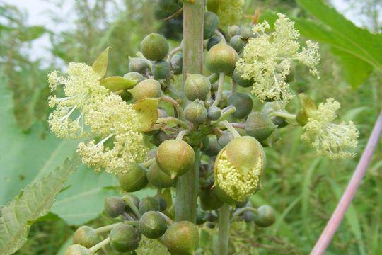 Flower-of-Castor-Beans-plant