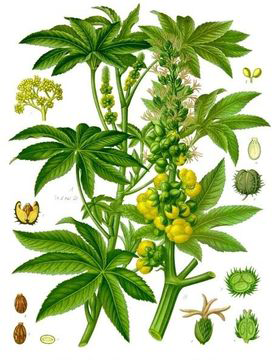 Plant-Illustration-of-Castor-Beans
