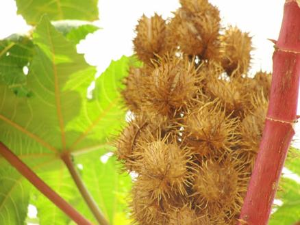 Ripe-Castor-Beans-pods