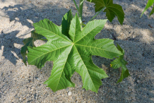 Leaves-of-Castor-Beans-plant