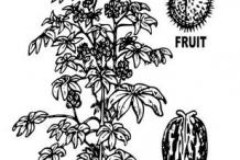 Sketch-of-Castor-Beans-plant