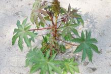 Small-Castor-Beans-plant