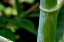 Stem-of-Castor-Beans-plant