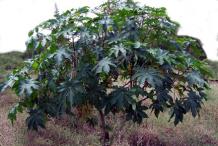 Castor-Beans-plant