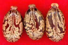 Closer-view-of-Castor-seeds