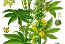 Plant-Illustration-of-Castor-Beans