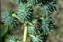 Unripe-fruit-of-Castor-Beans-plant
