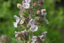 Flower-bud-of-Catnip