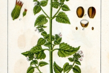 Illustration-of-Catnip-plant