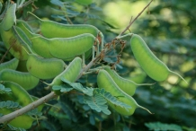 Green-pods-of-Cat's-claw