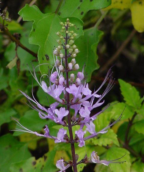 Cat's-whiskers-flower-purple