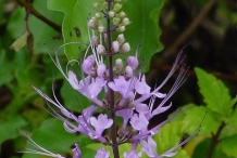 Cat's-whiskers-flower-purple