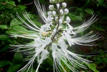 Cat's-whiskers-flower-white