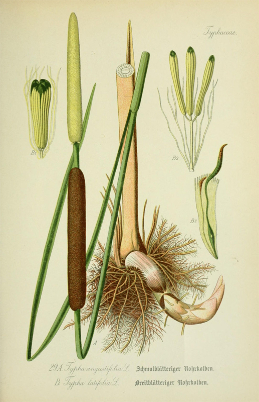 Illustration-of-Cattail-plant