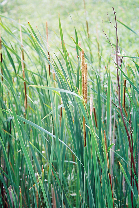 Leaves of Cattail
