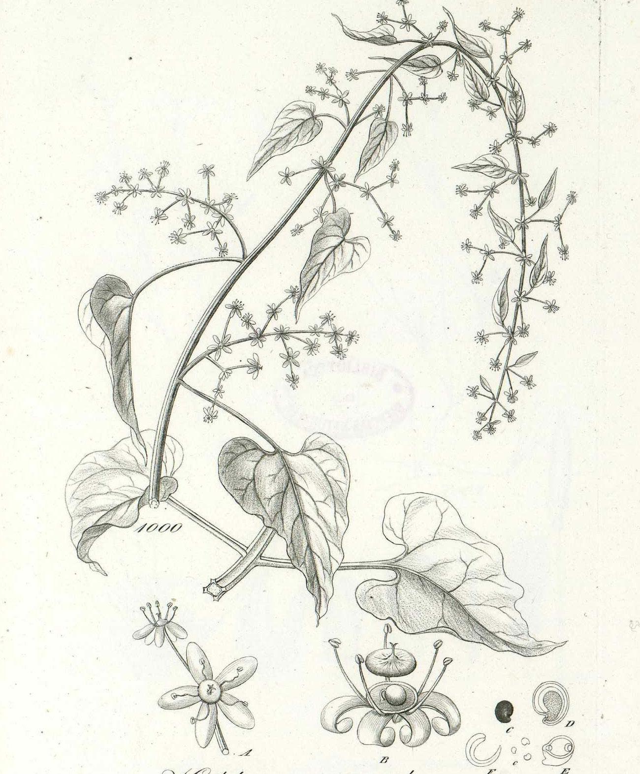 Plant-illustration-of-Caucasian-spinach