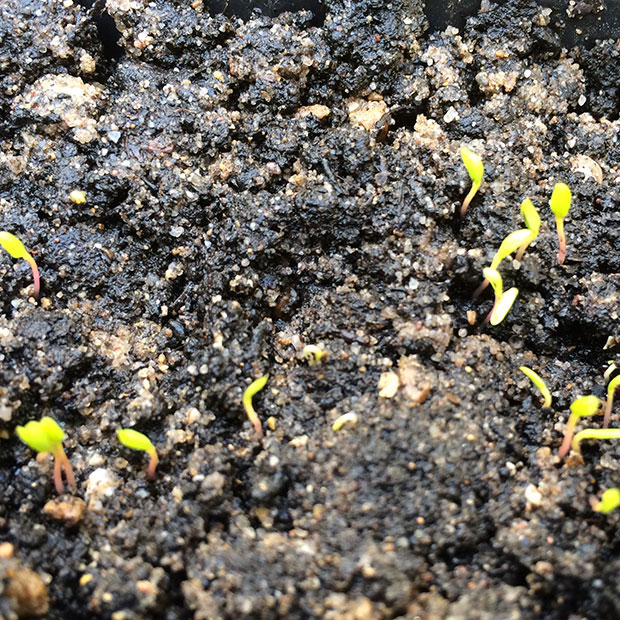 Seedlings-of-Caucasian-spinach