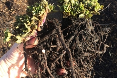 Roots-of-Caucasian-spinach