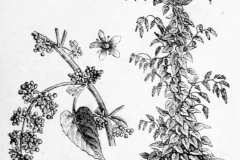 Sketch-of-Caucasian-spinach