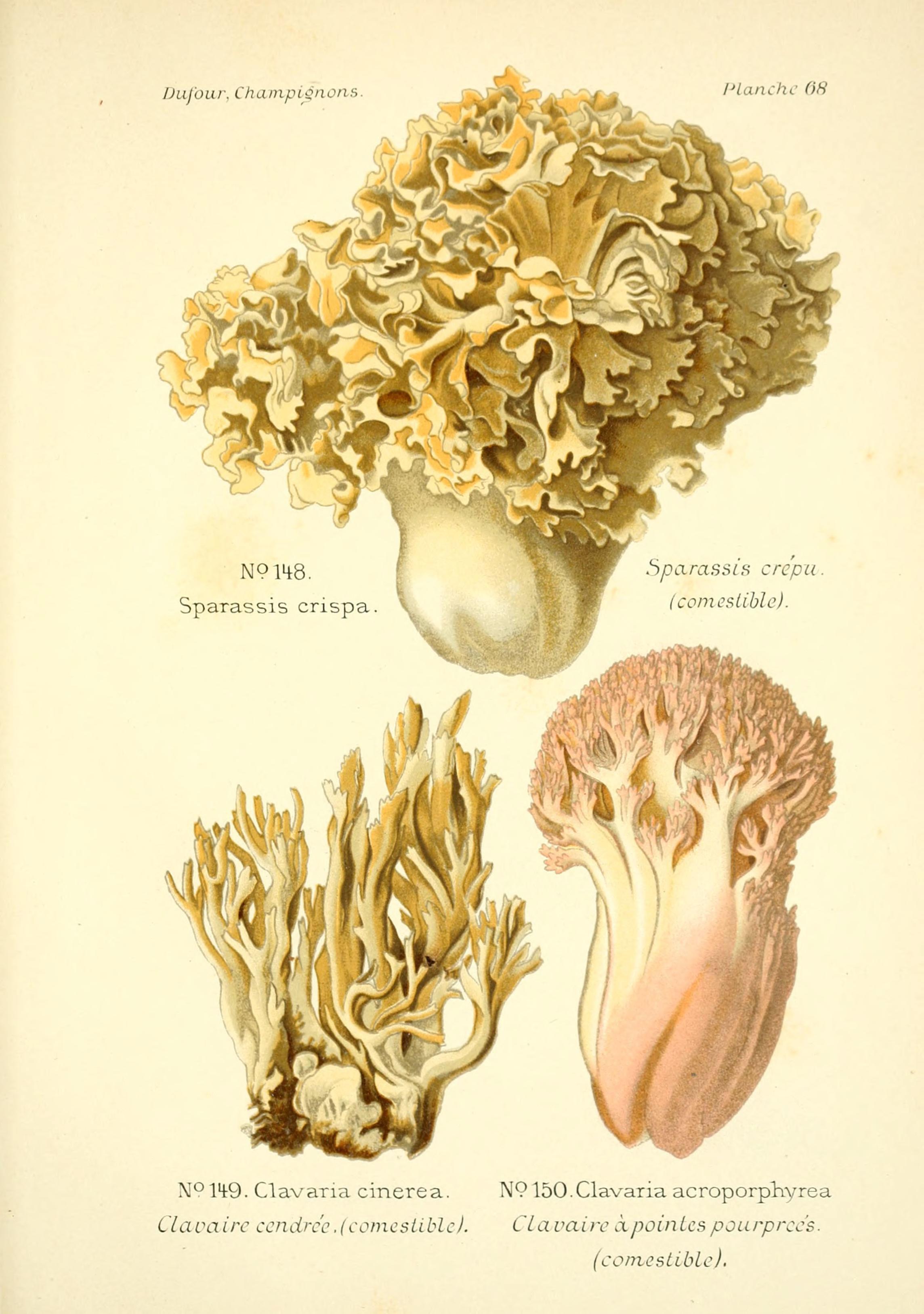 Plant-illustration-of-Cauliflower-Fungus