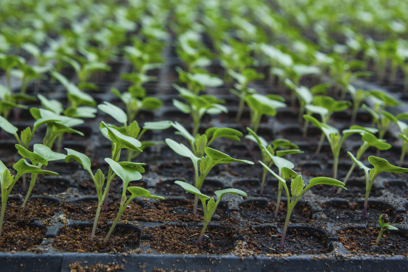 Seedlings-of-Cauliflower